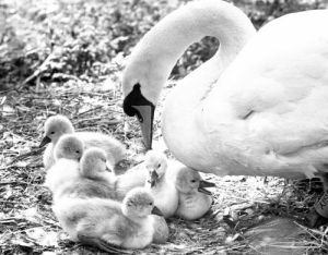 Swan and cygnets, 1982 by Mirrorpix