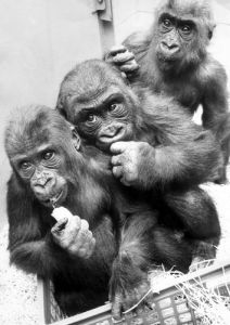 Three gorillas, Biddy, Eva and Diane at Twycross Zoo by Mirrorpix