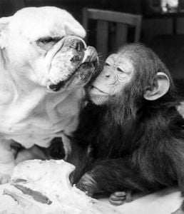 Sparky the chimp snuggles up beside Sue the bulldog by Mirrorpix