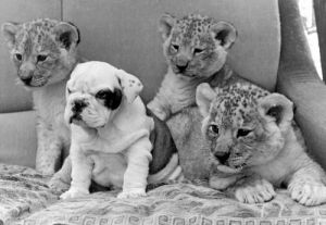 Sue the bulldog is flanked by three lion cubs by Mirrorpix