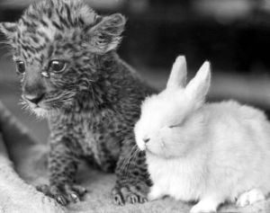 Pest the leopard cub and Dozy the rabbit by Mirrorpix