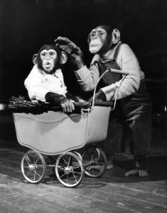 Chimpanzees performing at Bertram Mills Circus, 1952 by Mirrorpix