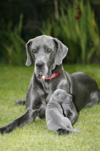 Macey the Great Dane mother by Mirrorpix