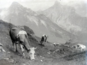 Cattle of the Schynige Platte in Switzerland by Mirrorpix