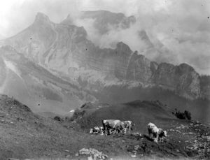 Cattle on the mountain slopes at Schynige Plattet by Mirrorpix