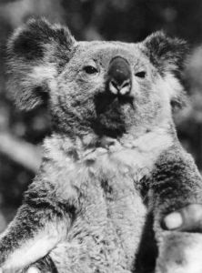 Koala Bear by Mirrorpix