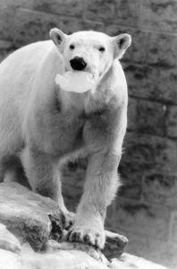 Polar Bear - Ice Lolly by Mirrorpix