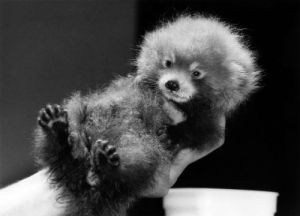 Pandas - Baby by Mirrorpix