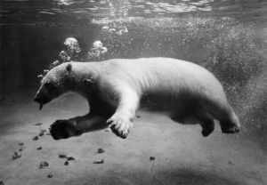 Polar Bears, Swimming by Mirrorpix