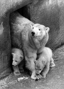 Polar Bears, Bear and cubs by Mirrorpix