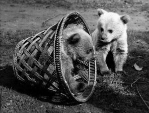 How to trap a couple of bouncing baby Syrian bears by Mirrorpix