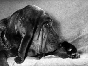 Bloodhounds by Mirrorpix
