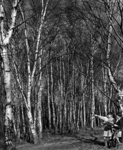 Silver Birch trees at Stanmore by Mirrorpix