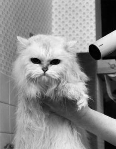 Cat having his hair dried by Mirrorpix