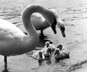 Family of swans by Mirrorpix