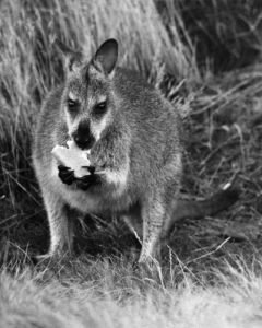 A Wallaby, 1976 by Mirrorpix