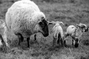 Mother with young spring lambs in Kent by Mirrorpix