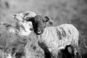 Spring lambs in Kent by Mirrorpix
