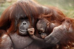 Orang-utan cuddling her young by Mirrorpix