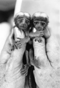 Twin cotton-topped Tamarin monkeys by Mirrorpix