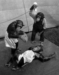 Chimpanzees during boxing by Mirrorpix