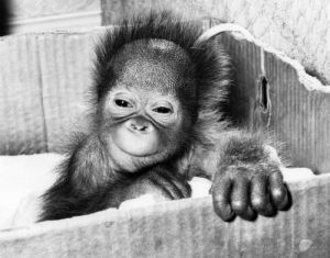Tiba the orang utan (2 weeks) by Mirrorpix