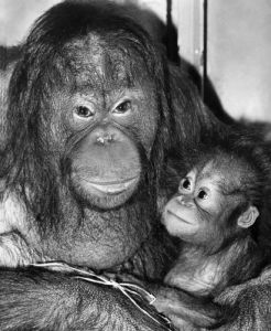Bunty the orang utan by Mirrorpix