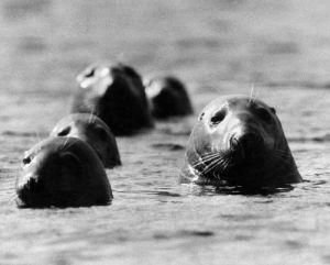 Seals swimming off the British coast by Mirrorpix
