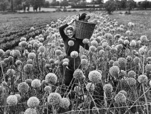 Farming Onion seed by Mirrorpix