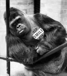 London Zoo: Guy the gorilla by Mirrorpix