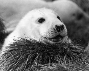 Baby Seal by Mirrorpix