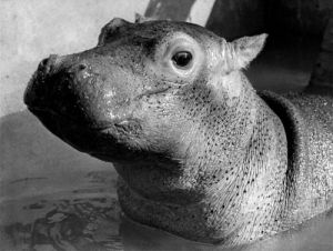 Esme the hippo by Mirrorpix