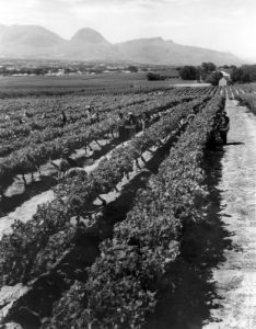 Workers picking grapes in vineyard by Mirrorpix