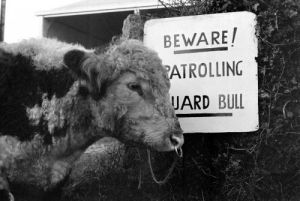 Fodder Thieves Patrolling Guard Bull, 1975 by Mirrorpix