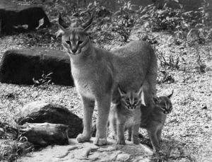 Lnyx with her cubs, 1970 by Mirrorpix