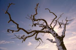 Tree covered in snow at Sunnisdie by Mirrorpix