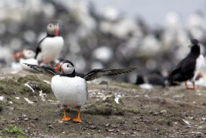 Farne Islands, Puffins by Mirrorpix
