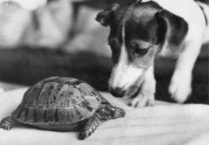 Speedy the tortoise and Mandy the Jack Russell by Mirrorpix