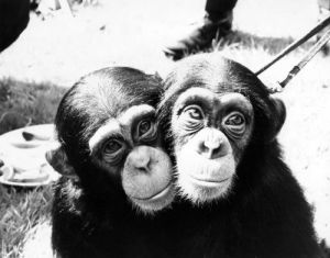 Two little chimps at London Zoo by Mirrorpix