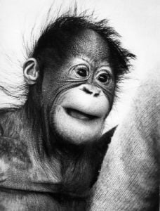 A cute baby orangutan by Mirrorpix