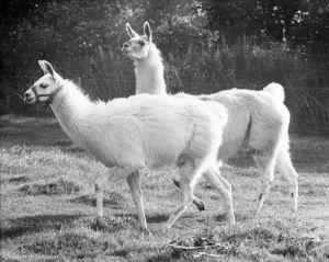 Larry the llama by Mirrorpix