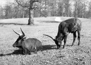 Oxen at Lowther Wild Life Park by Mirrorpix