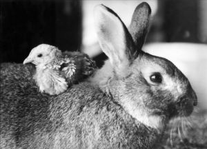Rabbit takes a chick for a ride by Mirrorpix