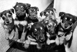 A litter of Alsatian puppies by Mirrorpix