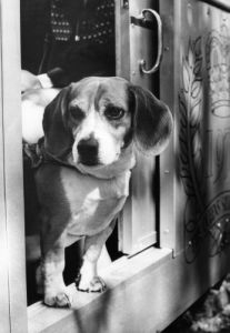 Nosy Beagle by Mirrorpix