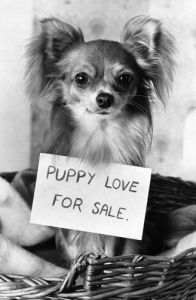 Chi, the amorous Chihuahua by Mirrorpix