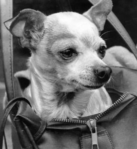 A Chihuahua in a bag by Mirrorpix