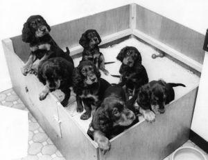 Gordon Setter puppies by Mirrorpix