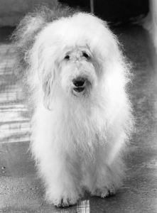 Old English Sheep Dog by Mirrorpix