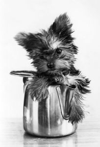 Yorkshire Terrier puppy by Mirrorpix